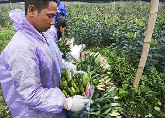 Hoa ly nở 'lệch nhịp', người dân lỗ cả trăm triệu đồng - 11