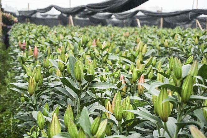 Hoa ly nở 'lệch nhịp', người dân lỗ cả trăm triệu đồng - 13