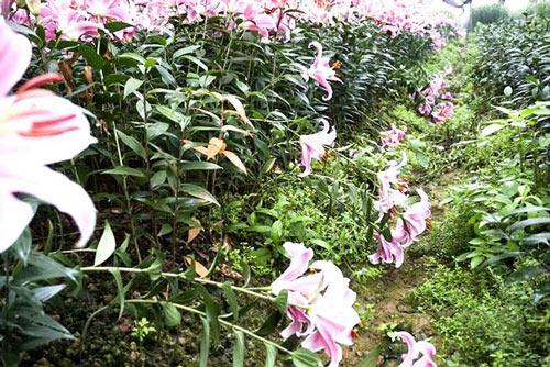 Hoa ly nở 'lệch nhịp', người dân lỗ cả trăm triệu đồng - 6