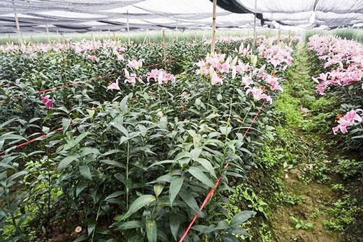 Hoa ly nở 'lệch nhịp', người dân lỗ cả trăm triệu đồng - 8