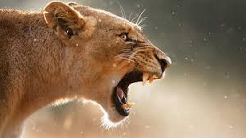 Nam Phi: Cô gái đang dạo chơi thì bị sư tử cái cắn chết
