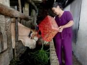 Thị trường - Tiêu dùng - Nông dân cho trâu bò ăn rau, củ vì... rớt giá
