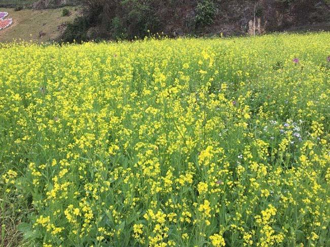 Mãn nhãn ngắm nhìn vườn hoa cải vàng óng trên cao nguyên Mộc Châu - 6