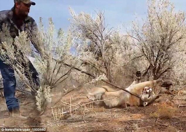 Mỹ: Đi bắt cáo không ngờ vợt nhầm sư tử núi