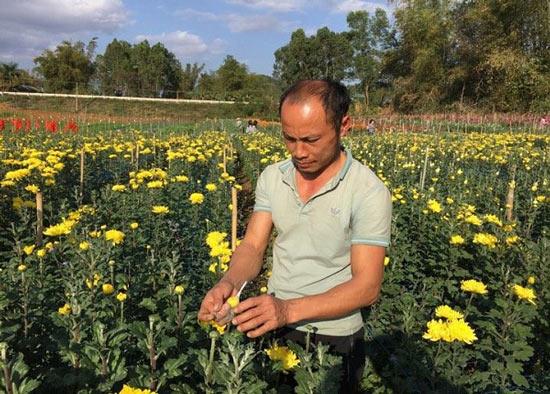 """Trồng 0,7ha hoa cúc, 8x """"đút túi"""" hơn 200 triệu đồng mỗi năm - 2"""