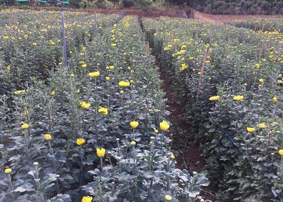 """Trồng 0,7ha hoa cúc, 8x """"đút túi"""" hơn 200 triệu đồng mỗi năm - 4"""