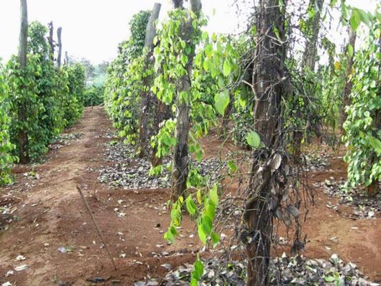 """Giá tiêu còn 57.000 đ/kg, các """"vua tiêu"""" chuyển sang… trồng bưởi - 2"""