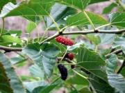 Việt Nam: Tìm thấy cây cực quý đẩy lùi teo não, lẫn tuổi già