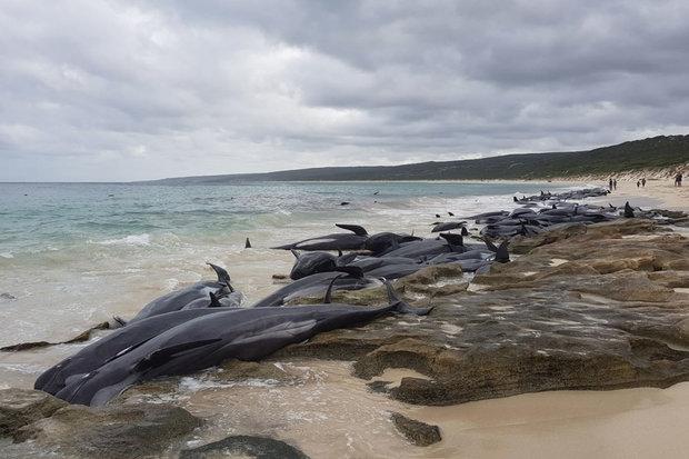 Hãi hùng cảnh 150 cá voi đồng loạt trôi dạt bờ biển Úc