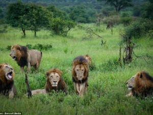 """Thế giới - """"Băng nhóm"""" sư tử cai quản 31.000m2 đất ở Nam Phi"""