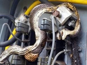 Thế giới - Hết hồn khi thấy rắn khổng lồ trong tủ điện