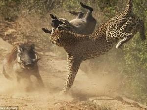Thế giới - Lợn rừng liều mạng tấn công báo đốm dữ dội để cứu con