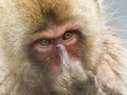 Phi thường - kỳ quặc - Bị quấy rầy giờ tắm, chú khỉ giơ 'ngón tay thối' về phía nhiếp ảnh gia