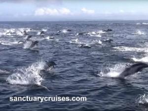 Thế giới - 8 cá voi sát thủ truy sát nghìn cá heo