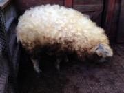 Phi thường - kỳ quặc - Lạ kỳ loài lợn mọc lông như cừu, biết chơi đùa như chó