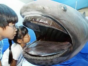 Phi thường - kỳ quặc - Cận cảnh loài cá mập miệng rộng nhất đại dương