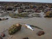 Thị trường - Tiêu dùng - Kiếm tiền triệu nhờ vớt cá chết bán cho thương lái