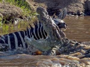 Thế giới - Bị cá sấu ngoạm, ngựa vằn cắn trả dữ dội thoát thân