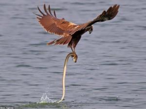 Thế giới - Rắn ranh mãnh cướp cá ngay trong chân đại bàng