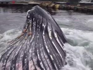 """Thế giới - Kinh ngạc cá voi khổng lồ """"cập cảng"""" Mỹ"""