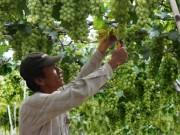 Thị trường - Tiêu dùng - Giá nho tăng mạnh, nông dân Ninh Thuận bớt khổ