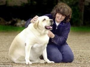 Thế giới - Anh: Phát hiện gene khiến chó béo phì