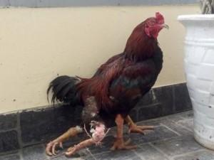 Phi thường - kỳ quặc - Những chú gà 4 chân kỳ lạ khắp nước Việt Nam
