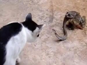 Thế giới - Rắn khốn khổ bị cóc nuốt nửa người còn bị mèo tấn công