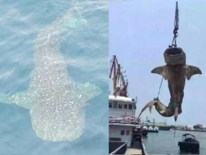"""Thế giới - Cá mập voi khổng lồ bị giết hại, """"treo cổ"""" ở Trung Quốc"""