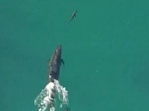 Thế giới - Video: Cá heo truy đuổi, ngoạm chết cá voi sát thủ