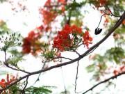 Tin tức trong ngày - Ngẩn ngơ ngắm hoa phượng nở rực trời Hà Nội đầu hè