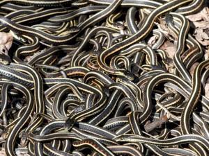 Thế giới - Kinh sợ 75.000 con rắn ken dày như thảm mùa giao phối