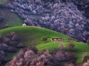 Thế giới - Sững sờ với vẻ đẹp thung lũng hoa mơ ở Trung Quốc