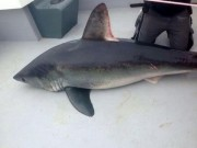 Thế giới - Anh: Bất ngờ câu được cá mập quý hiếm nặng 200kg