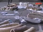 """Video An ninh - """"Tuồn"""" ngà voi bị bắt, hối lộ CSGT 500 triệu"""