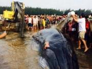 Tin tức trong ngày - Lý giải nguyên nhân cá voi hơn 10 tấn mắc cạn ở Nghệ An