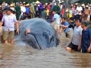 Tin tức trong ngày - Cá voi 13 tấn được hàng nghìn người giải cứu đã chết