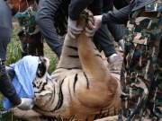 Du lịch - Ngôi chùa nuôi 137 con hổ dữ ở Thái Lan