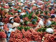 Thị trường - Tiêu dùng - 200 thương lái TQ vào Bắc Giang giám sát thu mua vải thiều