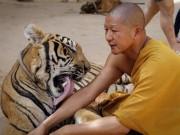 Phi thường - kỳ quặc - Ảnh: Sư Thái Lan ăn ngủ cùng 137 con hổ dữ