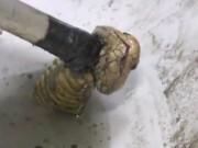 Thế giới - Thái Lan: Hoảng hồn với rắn hổ mang chui lên từ bồn cầu