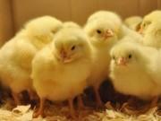 Tài chính - Bất động sản - Bill Gates tặng 100.000 con gà cho các nước nghèo