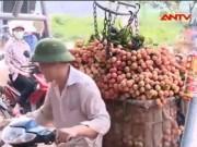 Video An ninh - Tại sao thương lái TQ đổ xô thu mua vải sớm?