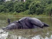 """Phi thường - kỳ quặc - Ấn Độ: Tê giác cái bị húc chết vì từ chối """"yêu"""""""