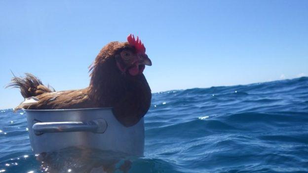 Cô gà mái 2 năm lênh đênh trên đại dương - 2