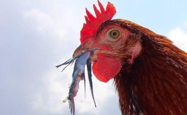 Cô gà mái 2 năm lênh đênh trên đại dương - 8