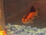 Phi thường - kỳ quặc - Cá vàng nổi tiếng vì giống trùm phát xít Hitler