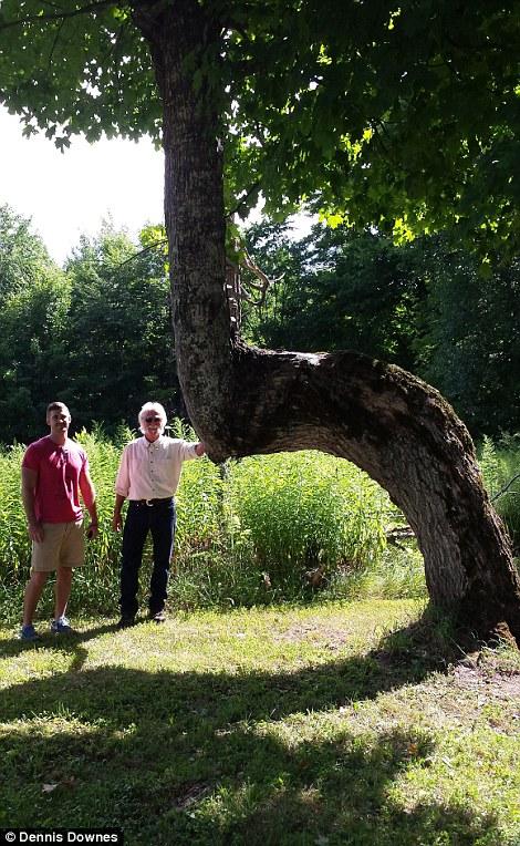 Giải mã hàng loạt cây lớn oằn 90 độ bí ẩn trong rừng Mỹ - 2