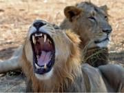 Thế giới - Ấn Độ phạt tù chung thân 3 sư tử ăn thịt người
