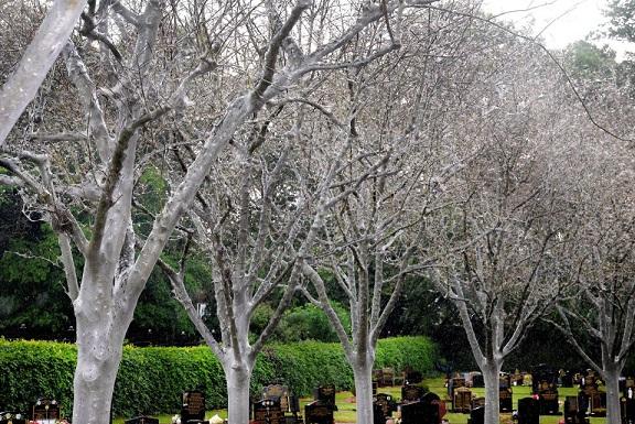 Anh: Hàng nghìn sâu bướm phủ trắng cây cối nghĩa trang - 4